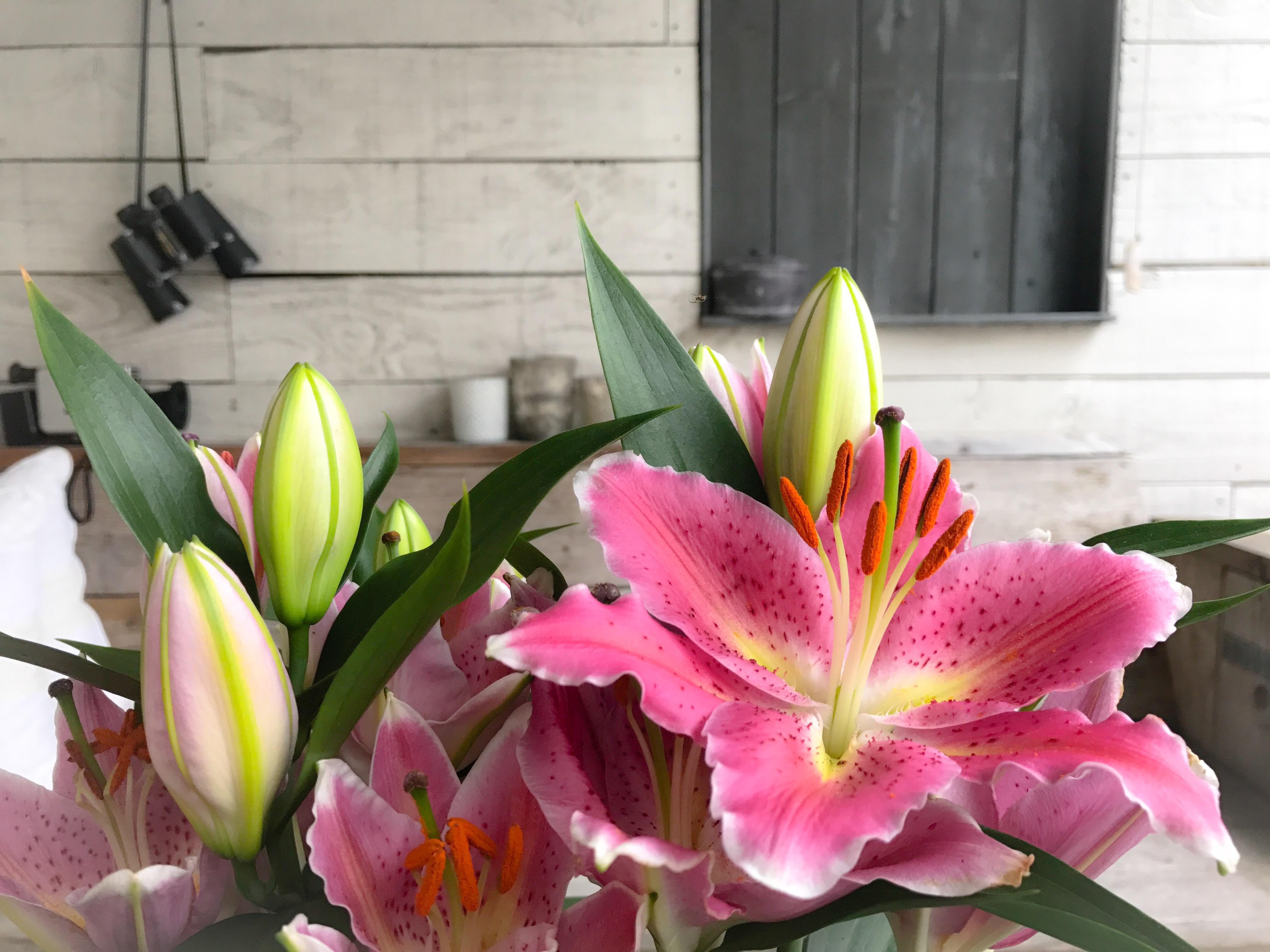 Oriental Lilyplants