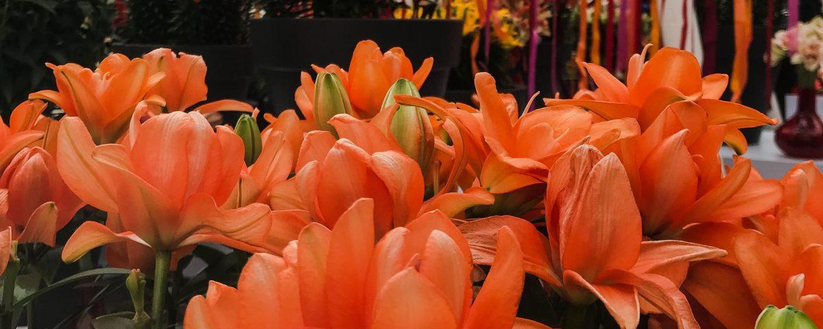 Keukenhof by Lilium Plants
